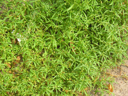 Image Result For Weed Control In Lawns